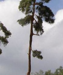 Pijnbomen
